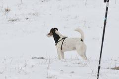 放松在雪的狗 库存照片