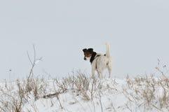 放松在雪的狗 免版税图库摄影