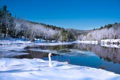 放松在雪的美丽的天鹅由湖在结霜的森林里 图库摄影