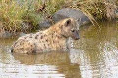 放松在水中的被察觉的鬣狗 库存照片