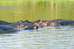 放松在水在更加伟大的圣卢西亚沼泽地公园世界遗产名录站点,圣卢西亚,南非中的小组河马 免版税库存照片