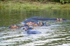 放松在水在更加伟大的圣卢西亚沼泽地公园世界遗产名录站点,圣卢西亚,南非中的小组河马 库存图片