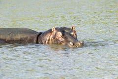 放松在水在更加伟大的圣卢西亚沼泽地公园世界遗产名录站点,圣卢西亚,南非中的河马 库存图片