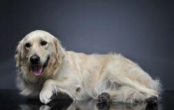放松在黑暗的演播室的金毛猎犬 库存图片