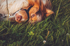 放松在绿草的红发杂种狗画象在慢转以后,获得乐趣户外 走在夏天公园 免版税库存照片