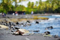 放松在Punaluu的夏威夷绿海龟染黑在夏威夷的大岛的沙子海滩 免版税库存图片