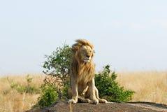 放松流的狮子的鬃毛 免版税库存图片