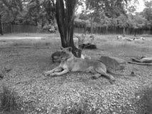 放松狮子的时期 免版税库存照片