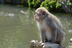 放松由一个池塘的成人日本短尾猿猴子在京都,日本Arashiyama地区  免版税图库摄影