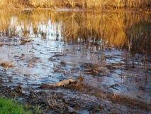 放松由沼泽的鳄鱼 免版税库存图片