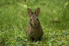 放松的兔宝宝 库存图片