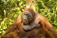 放松的大男性猩猩坐在阳光下 免版税库存图片