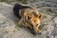 放松的德国牧羊犬休息 库存图片