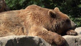 放松的棕熊休息和 股票视频