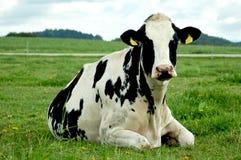 放松的母牛 库存照片