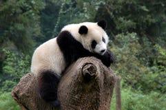放松的熊猫 库存图片