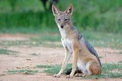 放松的狐狸 免版税库存图片