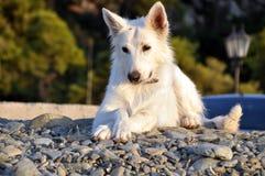 放松的狗 免版税库存照片