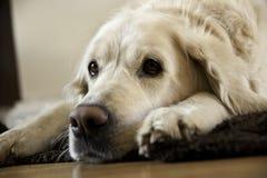 放松的狗 免版税图库摄影