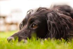 放松的狗 库存照片