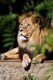 放松的狮子 免版税图库摄影