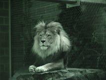 放松的狮子 免版税库存图片