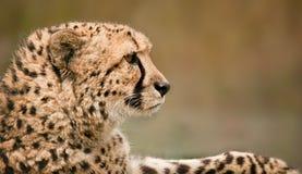放松的猎豹 免版税库存图片
