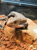 放松的蜥蜴 免版税库存照片