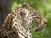 放松的豹子 库存图片