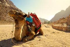 放松的骆驼 图库摄影