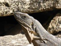 放松的鬣鳞蜥在阳光下 免版税库存照片