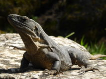 放松的鬣鳞蜥在阳光下 免版税库存图片