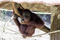 放松的猴子 库存照片