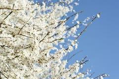 绽放樱桃概念春天结构树 免版税图库摄影