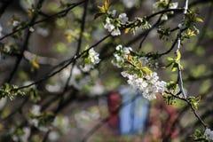 绽放樱桃概念春天结构树 库存图片