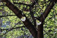 绽放樱桃概念春天结构树 免版税库存照片