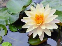 绽放浪端的白色泡沫与橙色中心的充分百合花在池塘 免版税库存图片