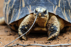 放热的草龟,马达加斯加 库存图片