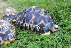 放热的草龟 库存图片