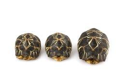 放热的草龟 免版税库存照片