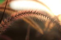 放牧与日出的花在natu的早晨时间金子颜色 免版税图库摄影