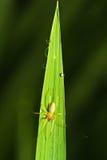 放牧叶子蜘蛛 图库摄影