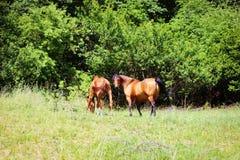 放牧在一个绿色草甸的美丽的棕色马 库存照片