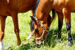 放牧在一个绿色草甸的美丽的棕色马 库存图片