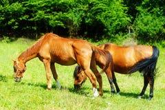 放牧在一个绿色草甸的美丽的棕色马 免版税库存照片