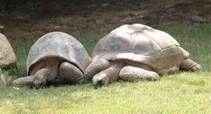 放牧地带草龟 免版税库存图片