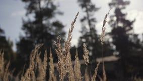放牧摇摆在绿色背景的风的钉 在早晨光的草词根 在绿色背景的干草 毛茸的钉 股票录像