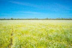 放牧花,与明亮的天空的狂放的白花 免版税库存图片