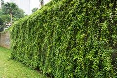 放牧围拢由有在雅加达拍的绿色藤照片的伟大的篱芭墙壁的庭院印度尼西亚 免版税库存照片