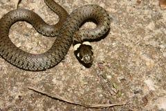 放牧natrix蛇 库存图片